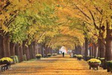 Đại lộ cây ngân hạnh Hyeonchungsa