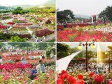 Lễ hội hoa Tulip ở Hàn Quốc