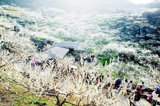 Lễ hội hoa mai quốc tế Gwangyang