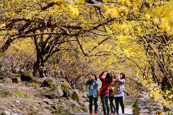 Lễ hội hoa sơn thù du Icheon Baeksa