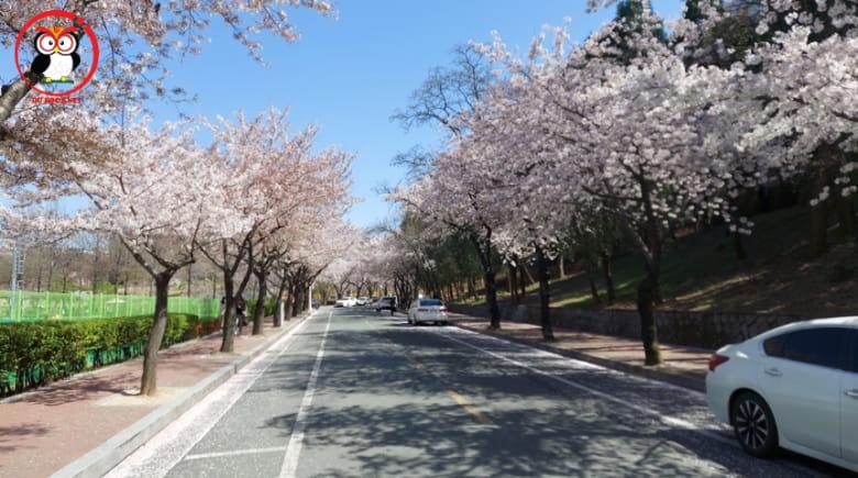Mùa hoa anh đảo nở rực rõ ở trường Kyungpook