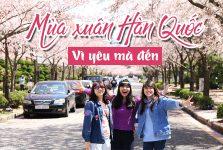 du lịch Hàn Quốc mùa hoa anh đào tuyệt đẹp