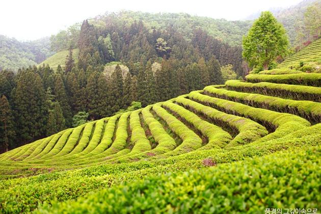 Lễ hội Trà xanh Boseong - 보성 다향제 là lễ hội mùa xuân tại Hàn Quốc