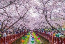 Du học Hàn Quốc kỳ tháng 3 là vào mùa xuân