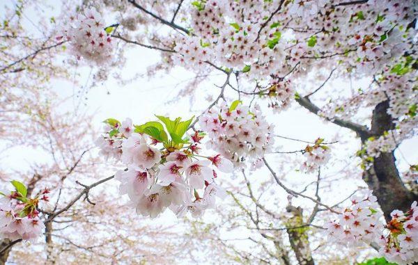 Du lịch Hàn Quốc năm 2020 sẽ rất thuận lợi nếu nắm rõ lịch nở hoa anh đào