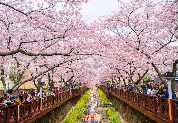 Seoul nơi được trồng 18.000 gốc anh đào các loại là thiên đường để ngắm hoa