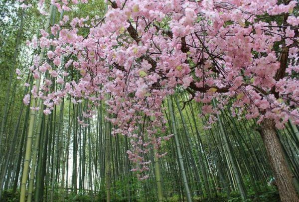 Tại Gwangju hoa anh đào được trồng xen lẫn với những cây tre, tạo nên vẻ đẹp vô cùng đặc sắc