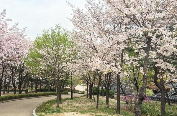 Xung quanh hòn đảo Jeju, hoa anh đào được trồng khắp mọi nơi